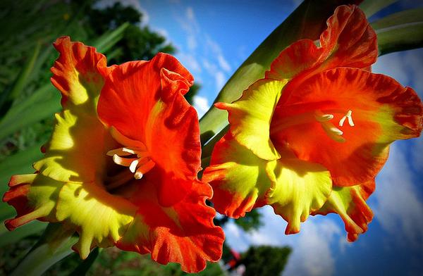 Бисероплетение схемы цветы гладиолусы - Делаем фенечки своими руками.