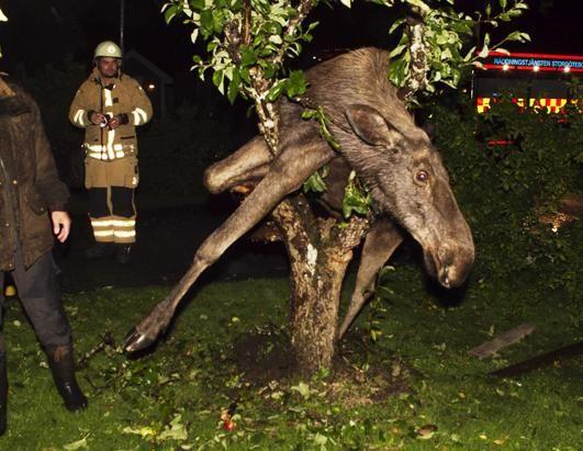 пьяный лось застрял в яблоне (531x411, 50Kb)