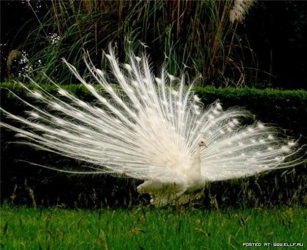 белый павлин (600x488, 85Kb)