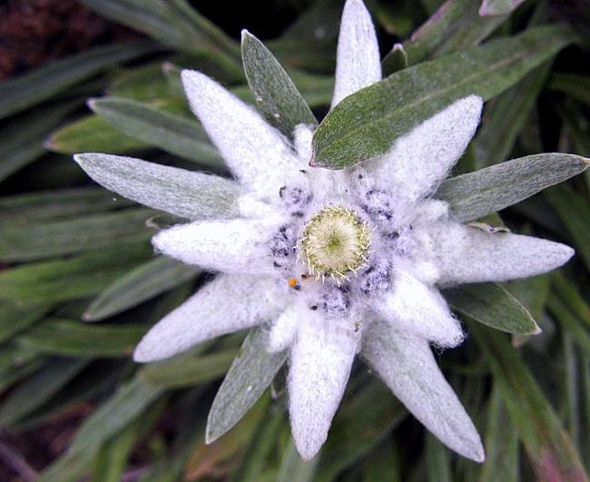 Эдельвейс цветок и описание