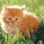 Превью kitten (150x150, 19Kb)
