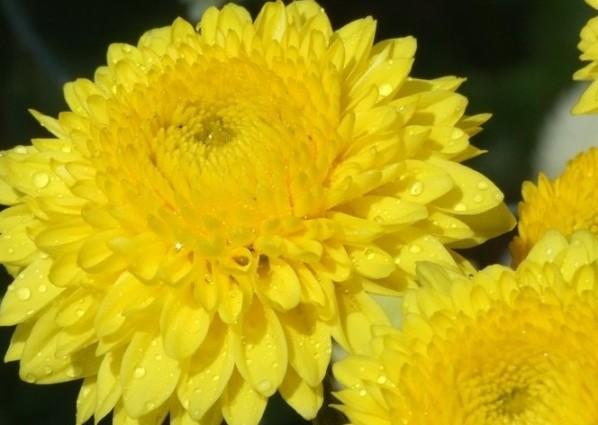 Желтые (598x425, 54Kb)