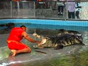 Крокодилы в Таиланде (299x225, 13Kb)