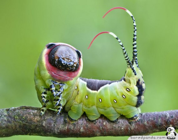 1328202703_caterpillar_18 (570x447, 54Kb)