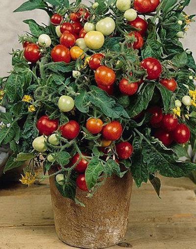 tomatomicrotom (400x508, 85Kb)