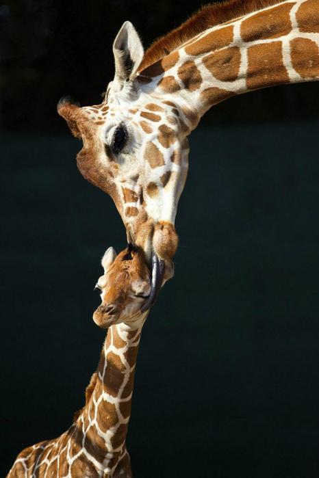 жирафы фото