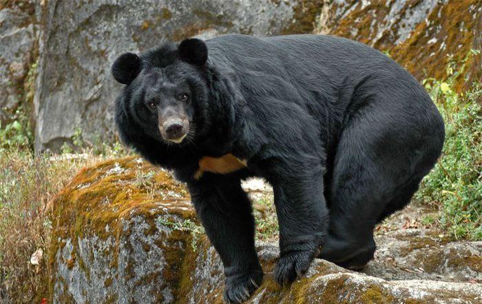 Черный-медведь-белогрудый (700x441, 81Kb)