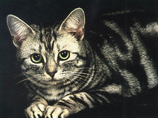 Ген длинношерстности мог быть у любой из короткошерстных пород кошек