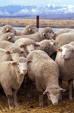 250px-Flock_of_sheep (250x380, 36Kb)