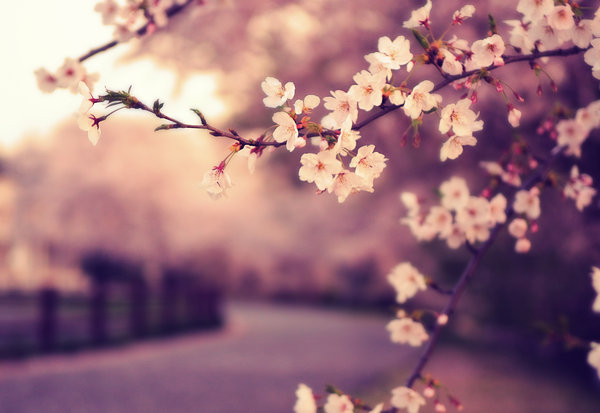 2382183_sakura__s_rising_sun_by_jyoujod4f57ck (500x413, 49Kb)