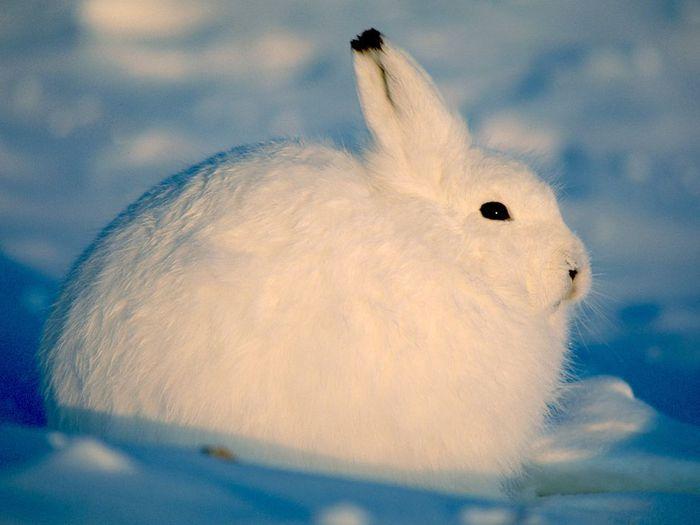 arctic-hare_218_990x742 (700x525, 36Kb)