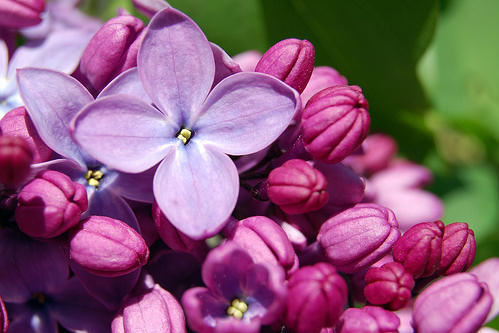Lilac-Flower-4 (499x333, 37Kb)