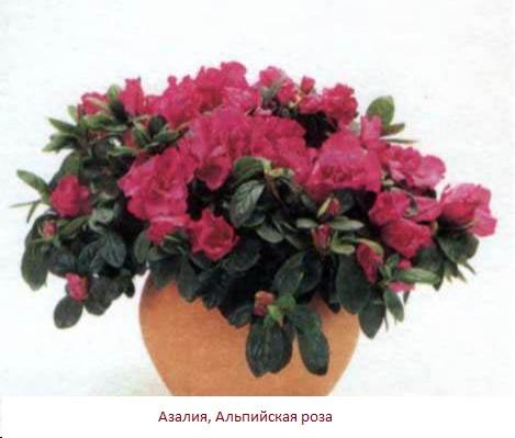 альпийская роза (469x399, 39Kb)