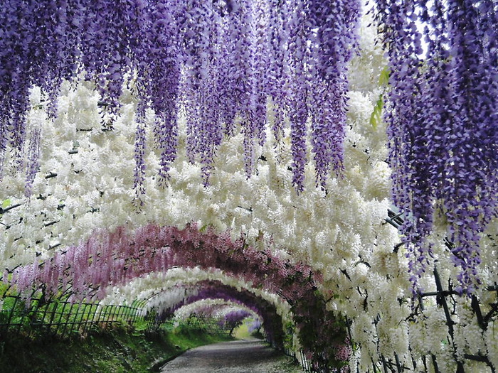 2-Kawachi Fuji Garden (700x525, 219Kb)