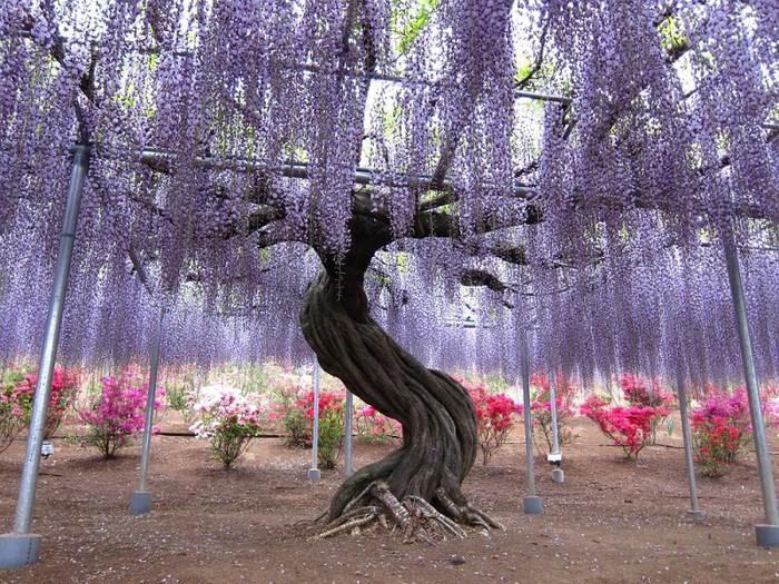 4-Kawachi Fuji Garden (700x525, 196Kb)