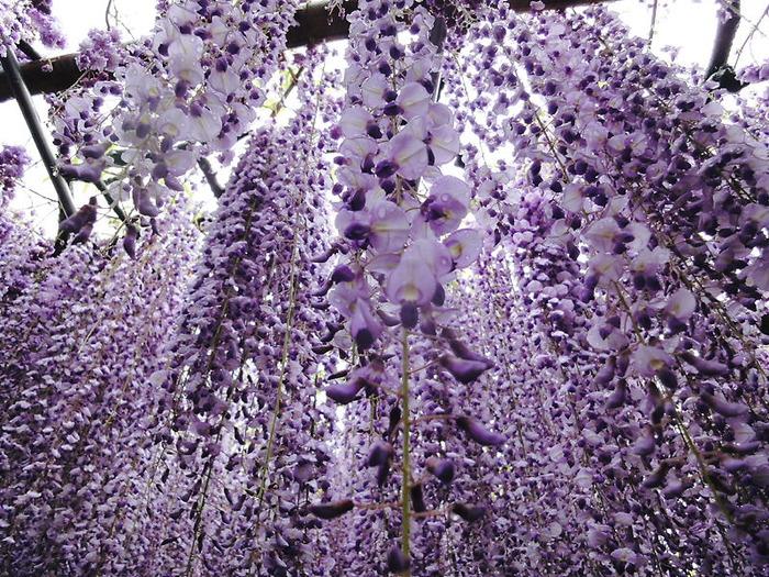 6-Kawachi Fuji Garden (700x525, 229Kb)