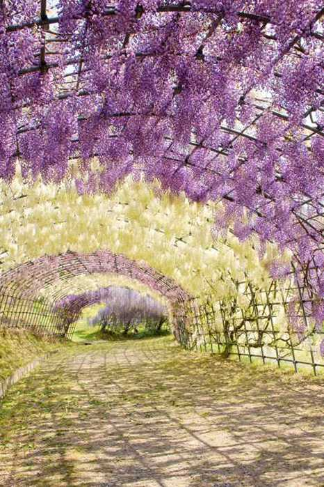 8-Wisteria Tunnel (466x700, 68Kb)