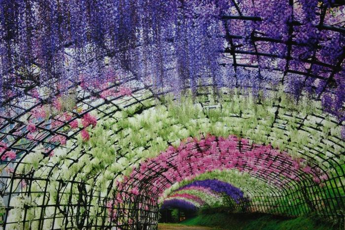 10-Wisteria Tunnel (700x466, 273Kb)