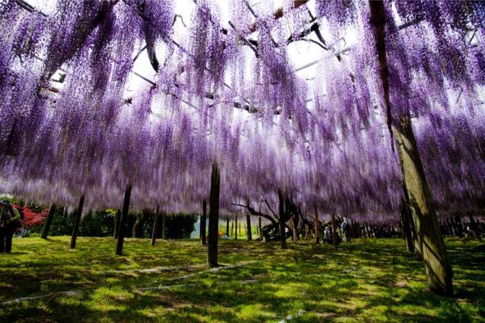 12-Kawachi Fuji Garden (700x466, 174Kb)