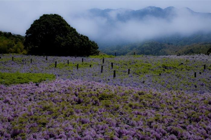 17-Kawachi Fuji Garden (700x466, 126Kb)