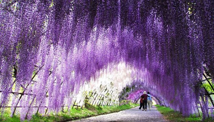 21-Wisteria Tunnel (700x401, 108Kb)