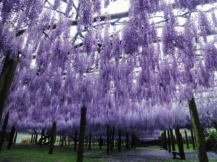 26-Kawachi Fuji Garden (700x525, 112Kb)