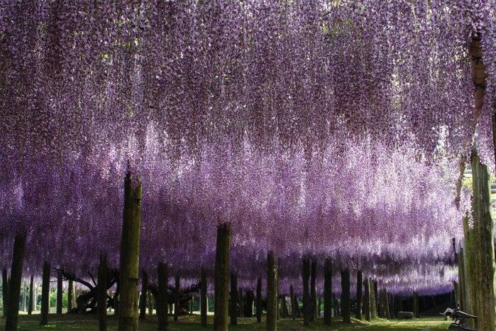 27-Kawachi Fuji Garden (700x466, 131Kb)