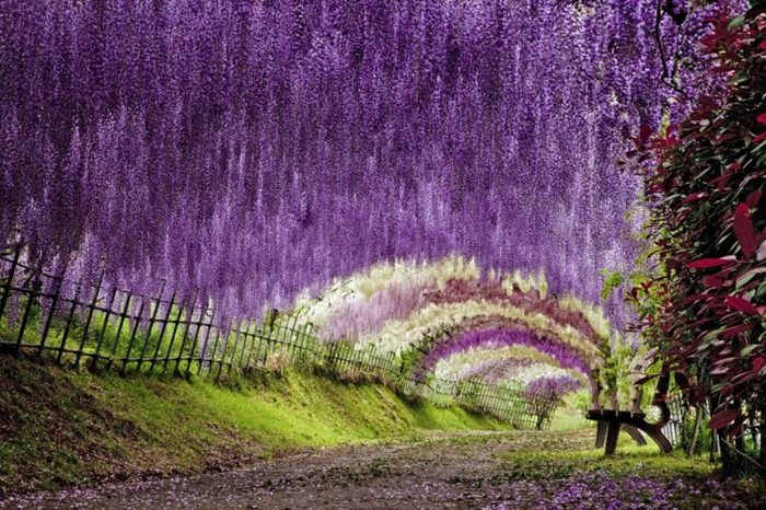 30-Wisteria Tunnel (700x466, 176Kb)
