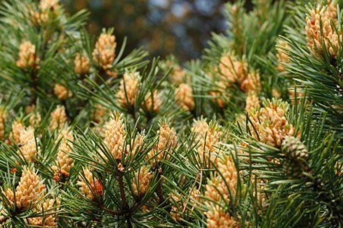 сосновая пыльца (700x467, 102Kb)