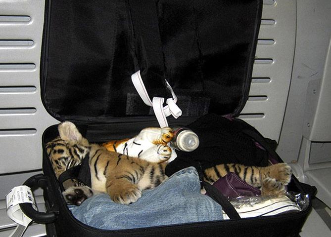 A-baby-tiger-cub-005 (669x480, 75Kb)