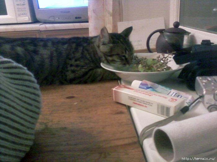 морда кота в тарелке