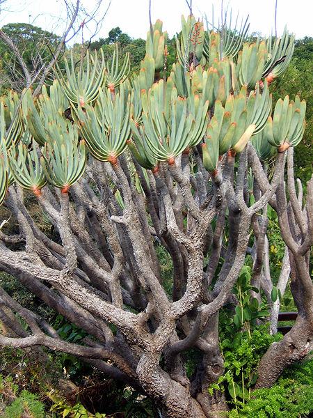 450px-Aloe_plicatilis_2006_06_09 (450x600, 124Kb)