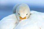 ������ whooping-swan-615 (615x409, 44Kb)