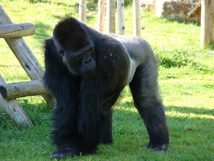 обезьяны в лиссабонском зоопарке (5) (700x525, 332Kb)