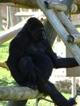 Превью обезьяны в лиссабонском зоопарке (6) (525x700, 284Kb)
