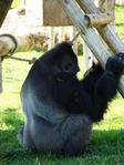 Превью обезьяны в лиссабонском зоопарке (8) (525x700, 317Kb)