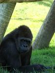 Превью обезьяны в лиссабонском зоопарке (10) (525x700, 312Kb)