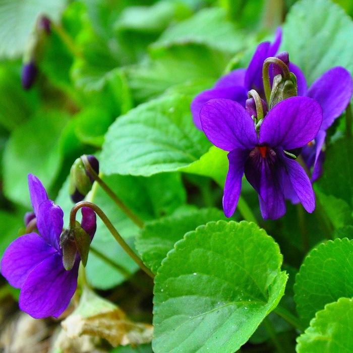 Цветы фиалка душистая