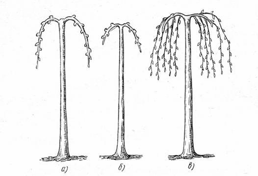 Схема формирования плакучей