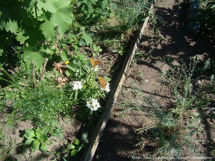 Лилии, эшшольции и бабочки 06 (700x525, 446Kb)