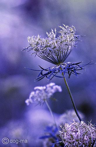 lavender_ukrspice (329x499, 48Kb)