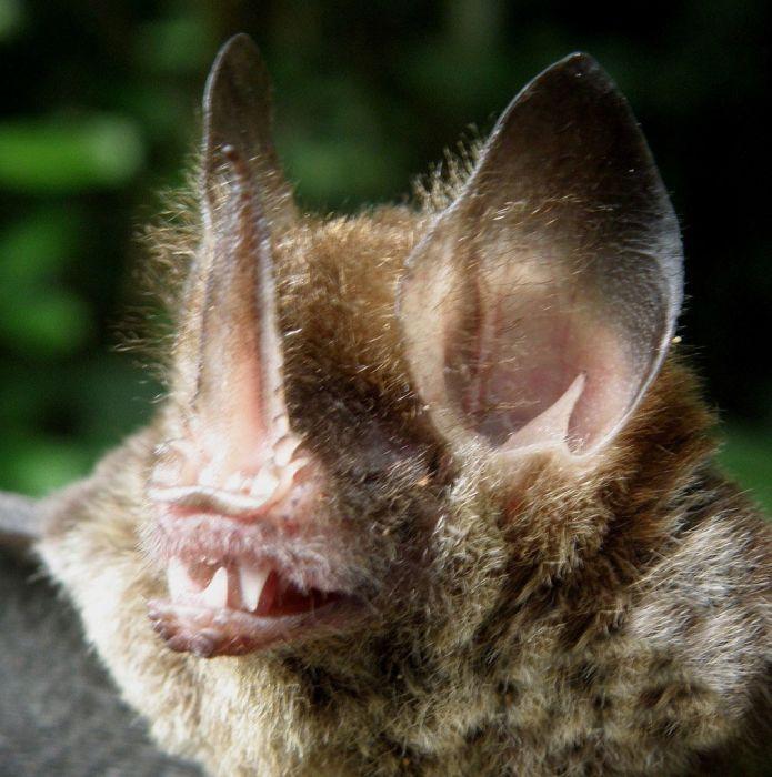 bat_0500 (695x700, 97Kb)