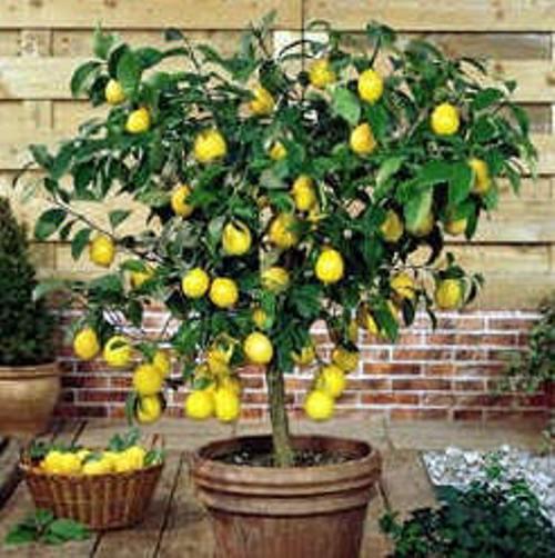 лимон (500x502, 51Kb)