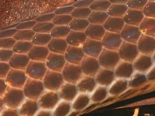 snakesunbeamscale (320x240, 13Kb)