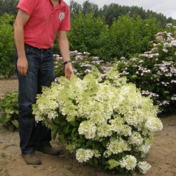 hydrangea-paniculata-metelchataya-bobo-3817-B (600x600, 292Kb)