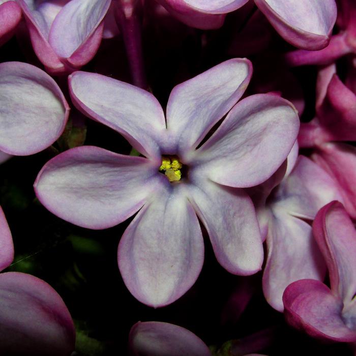 сирень шестилистный цветок/683232_siren_shestyorochka_800 (700x700, 266Kb)