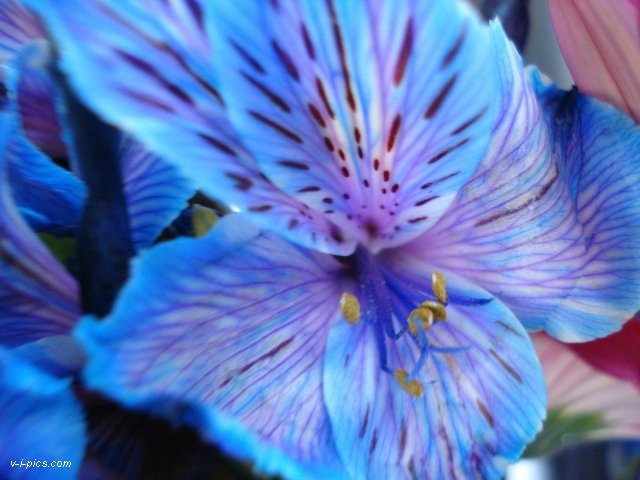 blueflower000571vipics (640x480, 56Kb)