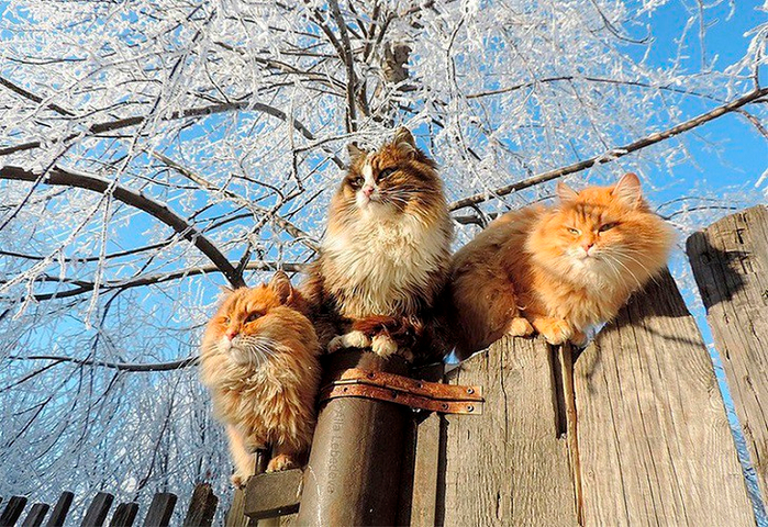 siberian-cats_photo-alla-lebedeva16 (700x480, 561Kb)