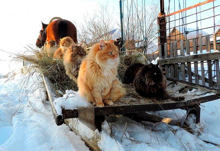 siberian-cats_photo-alla-lebedeva141 (700x480, 451Kb)