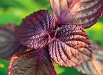 Превью базилик-фиолетовый (670x490, 238Kb)